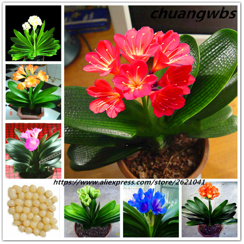 Real Clivia Bonsai Flower Decorative Flowers Indoor Garden Plants New Year Gift 1pcs/bag