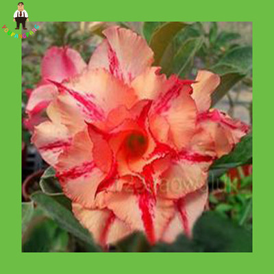 Desert Rose seeds adenium obesum seeds bonsai flower seeds double petals potted plant for home garden Tiger rose 1 pcs/bag