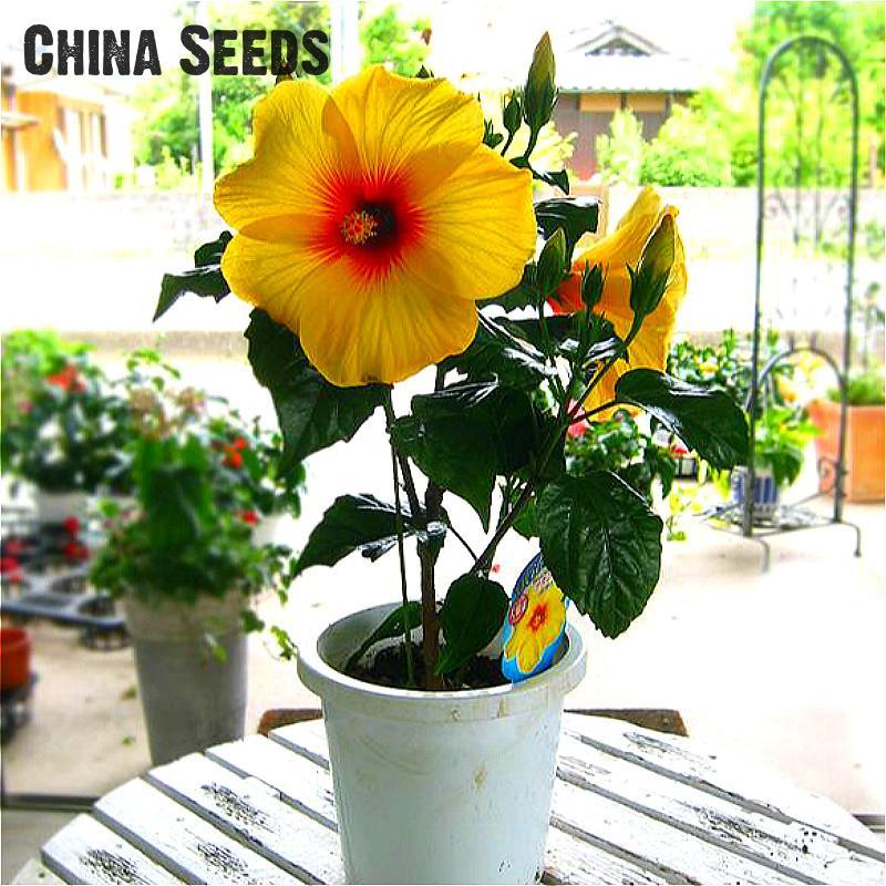 unids gigante semillas de hibiscus hibiscus semillas de flores bonsai de interior plantas de flores
