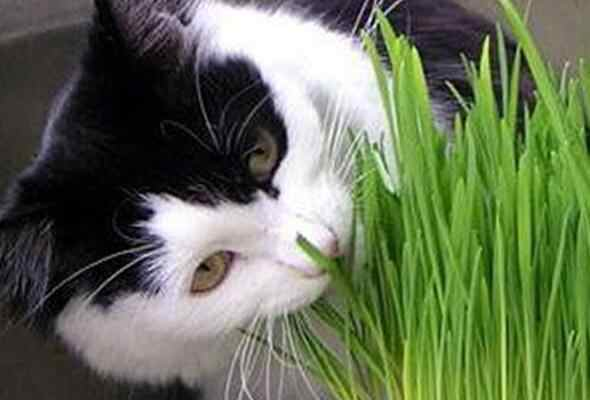 200 pcs /Bag Cat Grass Home Garden Lovely Foliage Plant Flower Indoor Bonsai Flower Pot Plant New wheat