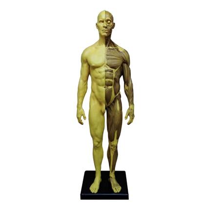 human skeleton model for sale promotion-shop for promotional human, Skeleton
