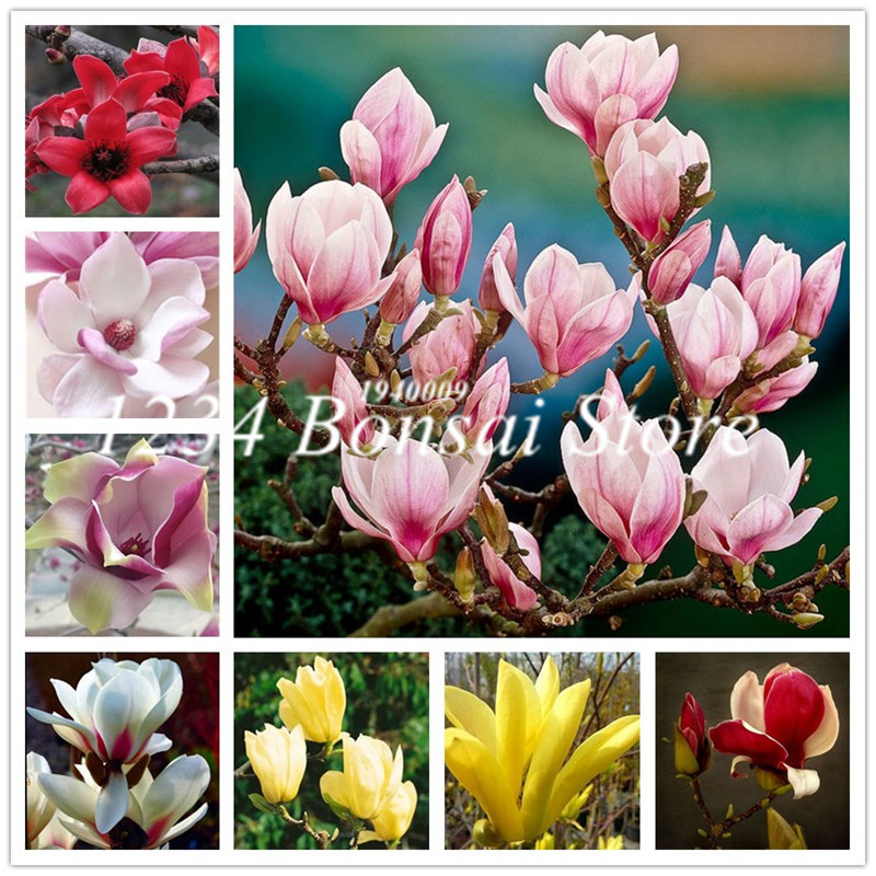 100Pcs Mixed Magnolia flower Bonsai Beautiful Tree Pot plants Perennial Flower Magnolia Multicolor Optional Light Up Your Garden(China)