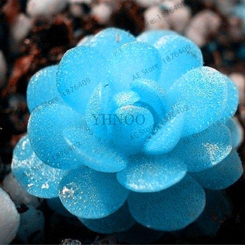 Ass flores MANDY FLORES