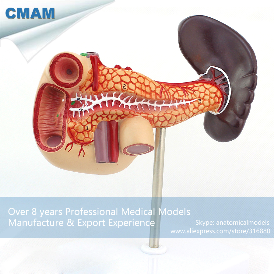 CMAM-VISCERA06 Medical Science Human Pancreas with Spleen and Duodenum Model human anatomical pancreas duodenum spleen organ dissection medical teach model school hospital