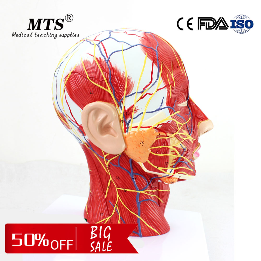Medical human head model with Attached Vascular nerve brain Neurology Department Model used medical school teachingMedical human head model with Attached Vascular nerve brain Neurology Department Model used medical school teaching