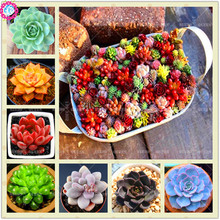 Buy Hot!!!200pcs/bag mix lithops seeds rare succulen online