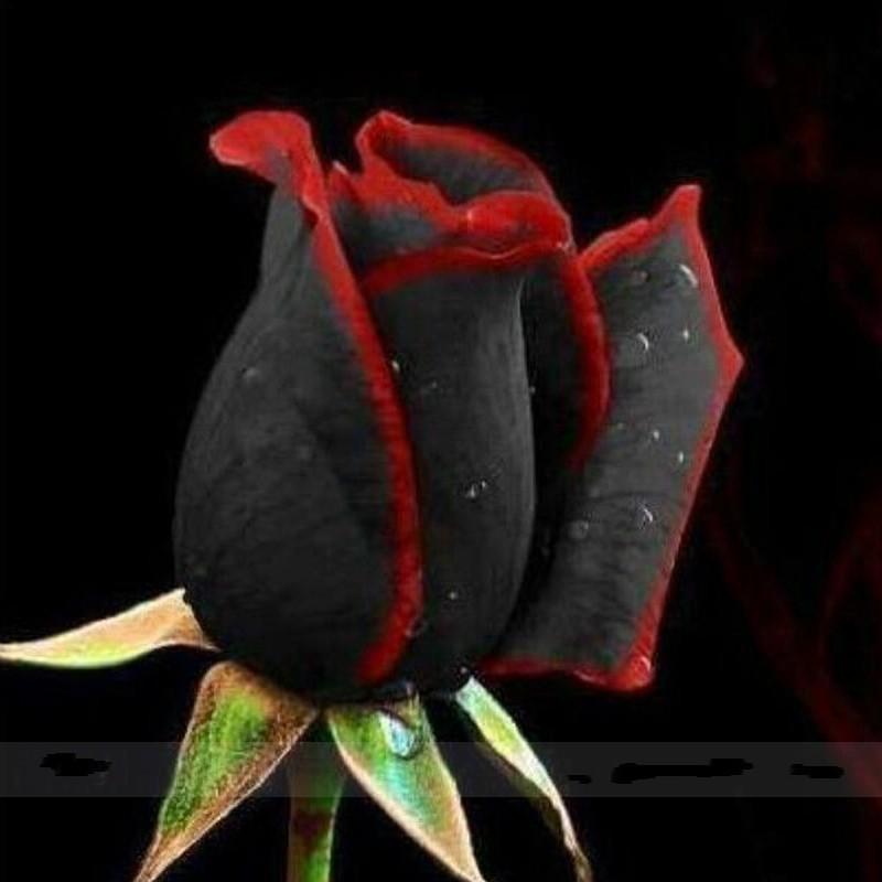 Семена роз редких черных с красным краем фото