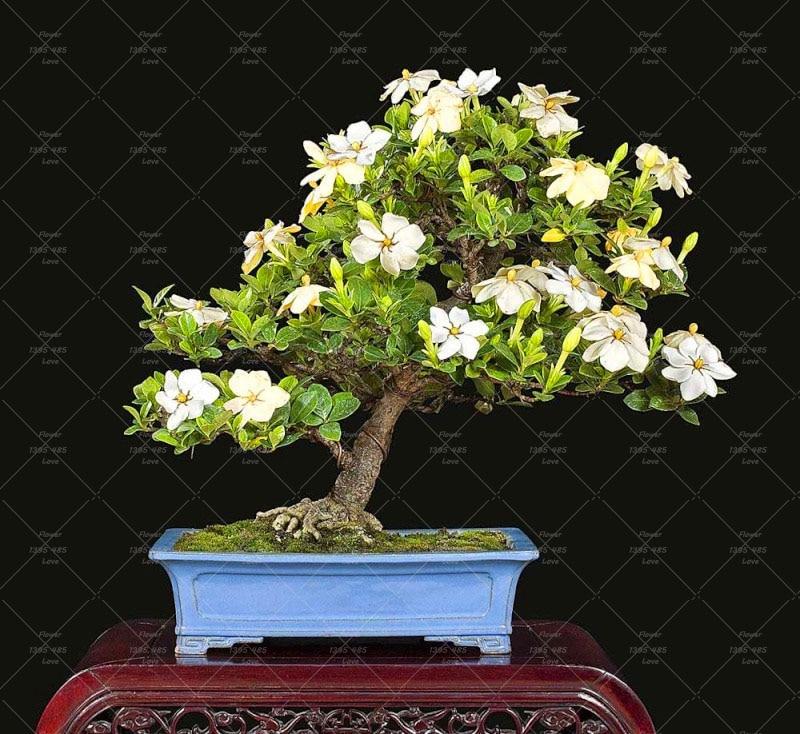 эухарис цветы комнатные купить в Китае