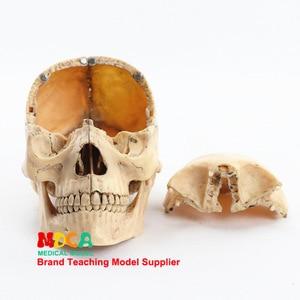 Image 2 - 1:2 Lifesize Human Skull Model True colors Medical teaching equipment 15 Parts Anatomical Anatomy Skeleton Model
