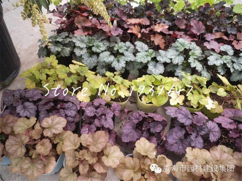 100 pces heuchera micrantha bonsai folhagem exótica flores em vasos de frio-tolerante para casa decoração de jardim fiores