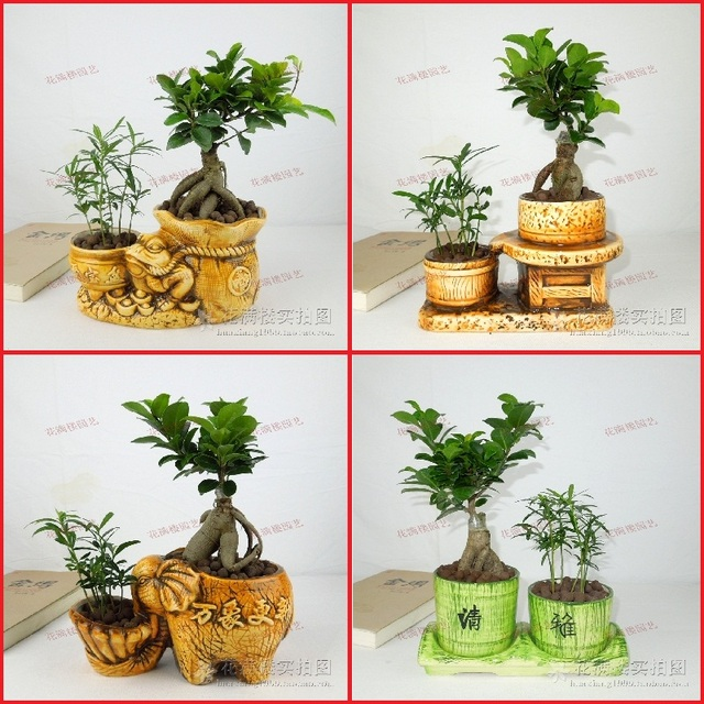 Indoor Flowers Plants Radiation Resistant Bonnyclabber