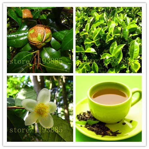 5 green tea tree seeds chinese herb tea food health for home garden planting