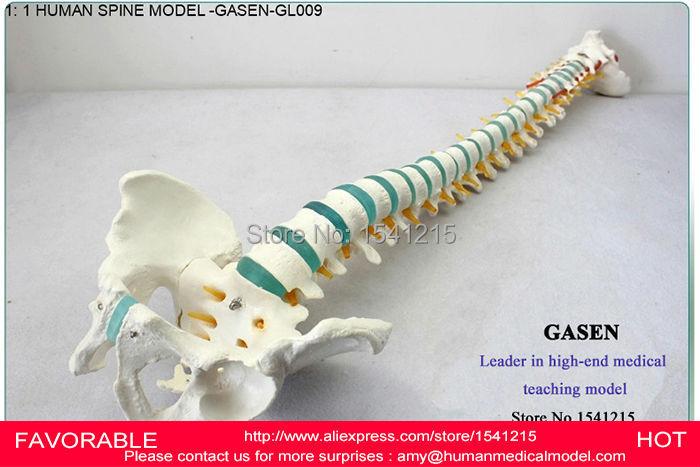 HUMAN SPINE BONE SKELETON MODEL,MODEL FOR MEDICAL REHABILITATION TRAINING, SPINE MODEL, HUMAN SPINE MODEL -GASEN-GL009 life size medical human femur and tibia anatomical skeleton model human skeleton and tibia model with joint gasen fzg010