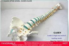 HUMAN SPINE BONE SKELETON MODEL,MODEL FOR MEDICAL REHABILITATION TRAINING, SPINE MODEL, HUMAN SPINE MODEL -GASEN-GL009