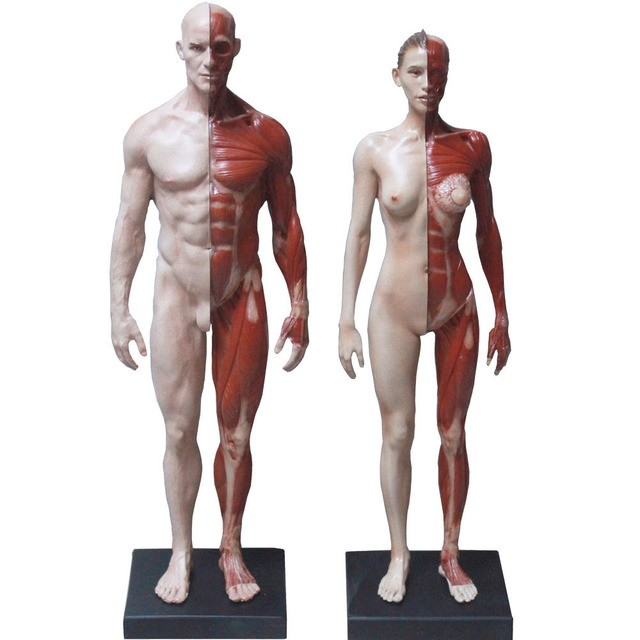 V2 16 Human Anatomical Figure Medical Art Anatomy Of The Male