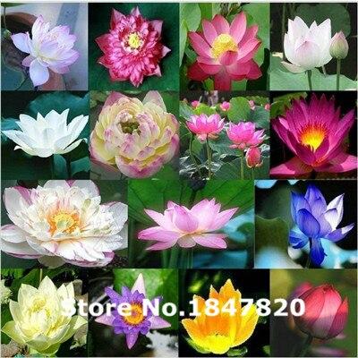 Ggg AAA 5 шт. семена лотоса водные растения цветут кувшинка семян Карликовые деревья растений Семена для дома и сада ...