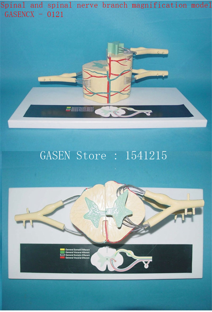 Spinal nerve anatomy model of spinal cord nerve model Spinal and spinal nerve branch magnification model - GASENCX - 0121 some nerve