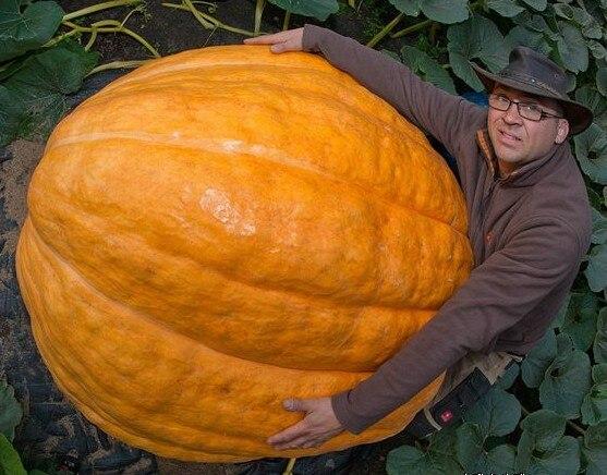 Giant Pumpkin Bonsai Weight Up To More Than Pounds Of Vegetable Bonsai 5pcs