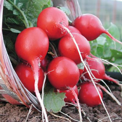 1 Package 400 Cherry Belle Radish Seeds 100% Real seed Delicious DIY Home Garden Plant