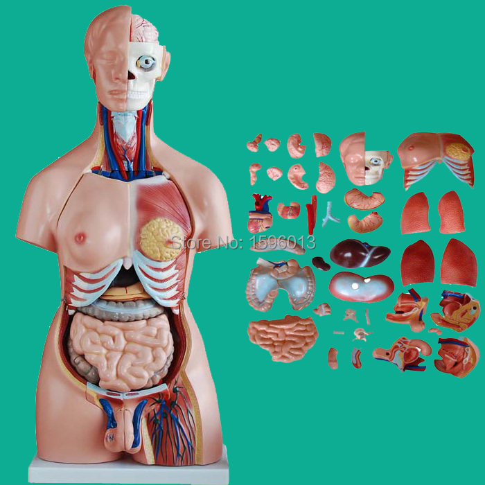 все цены на 85CM Unisex Torso with Internal Organs 40 Parts, Human Unisex Torso model онлайн