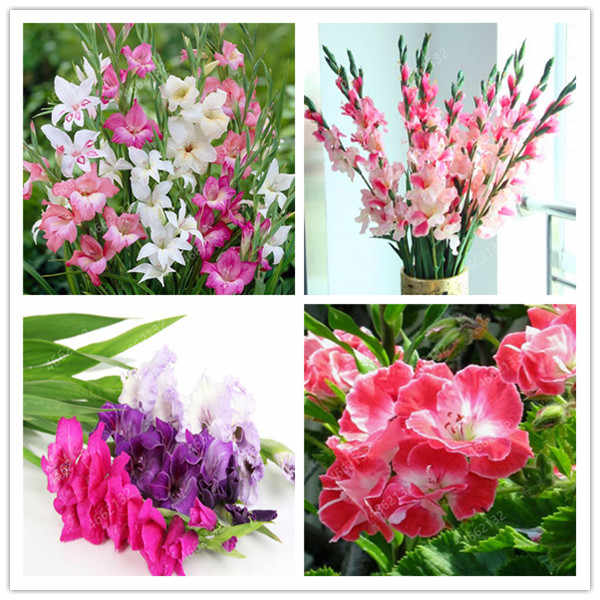 100 Pcs Rare Striped Gladiolus Sword Lily Garden Plant Flowers Orchid Gladiolus Bonsai Seedsplant Gandavensis High Survival Rate