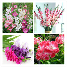 100 Pcs Rare Striped Gladiolus Sword Lily Garden Plant Flowers Orchid Gladiolus Bonsai Seedsplant Gandavensis High Survival Rate(China)