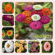 Promotion!24 Colors Zinnia bonsai Perennial Flowering Plants Potted Charming Chinese Flowers garden 100 Pcs/Pack(China)