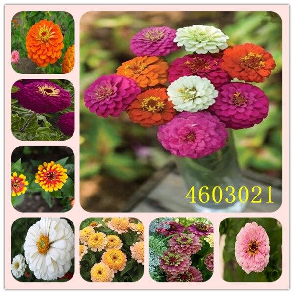 Promozione! 24 Colori Zinnia bonsai Perenne Piante da fiore In Vaso Cinese Charming Fiori giardino di 100 pz/pacco