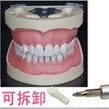 1 pc Dental dental ensino modelo de instrumentos oral 32 boca cheia de dentes Removíveis