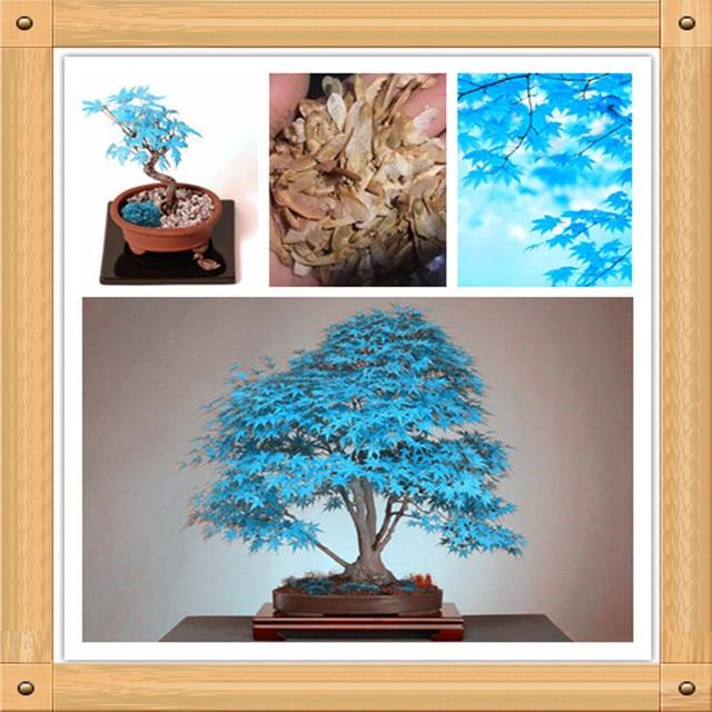 US $0 99 |Bonsai Tree Seeds  10PC Rare Sky Blue Maple Seed  Balcony  Plants-in Bonsai from Home & Garden on Aliexpress com | Alibaba Group