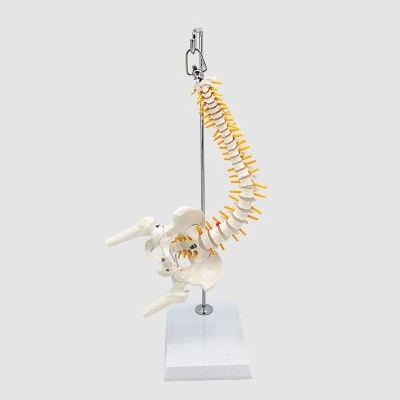 45cm Flexible 1:1 Adult Lumbar Bend Spine Model Humans Skeleton Model With Spinal Disc Pelvis Model Used For Massage