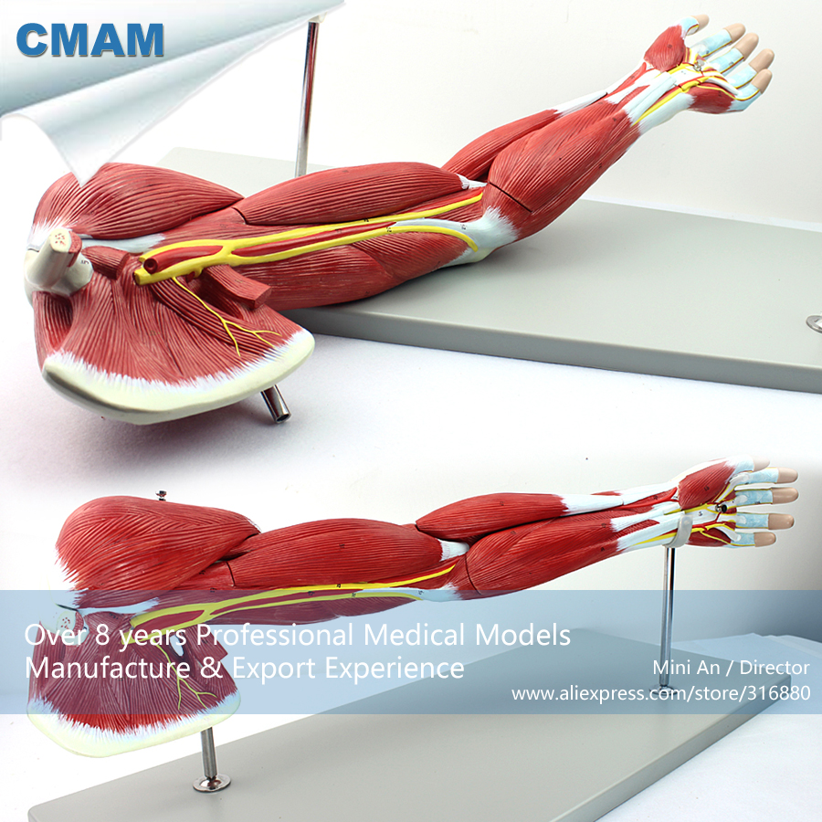 12025 CMAM-MUSCLE03 Human Muscles of Arm with Main Vessels and Nerves(Anatomical Model) bix a1005 human skeleton model with heart and vessels model 85cm wbw394