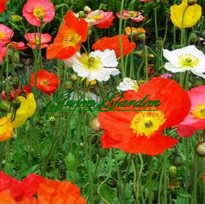 100pcs/lot,mixed color beautifying Iceland Poppy (Papav