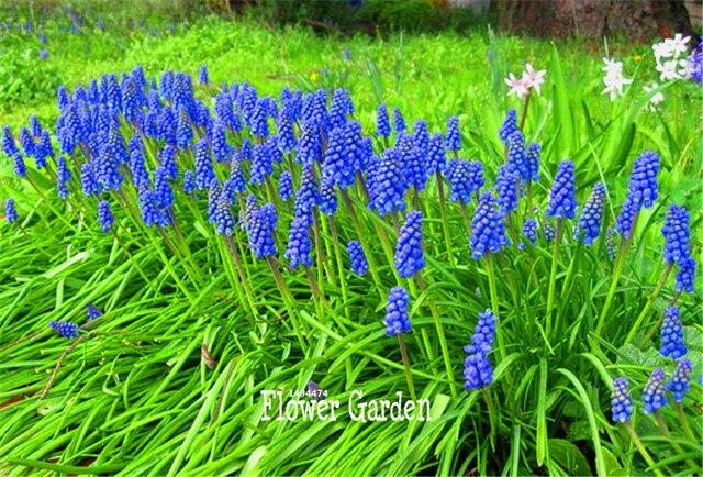 Blue Violet Purple Grape Hyacinth Flower Bonsai Garden Decoration Leader