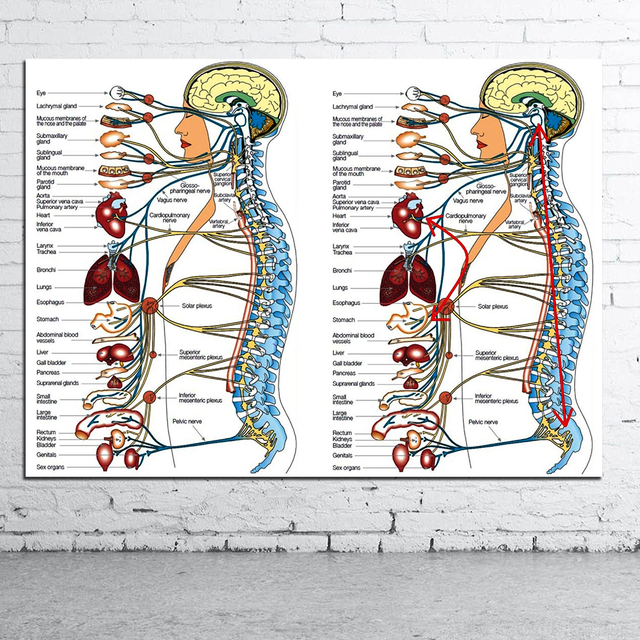 Human Science Human Body Organs Medical Knowledge Canvas Poster