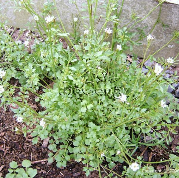Pepper Cress Seed 1 Gram 400 Seeds Lepidium sativum Garden