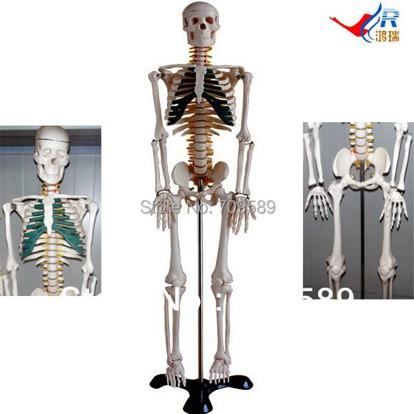 ISO Articulated Skeleton with Simulated Spinal Nerves, 85-cm Skeleton скатерть 85 85 cm п э