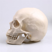 Crafts Painting Skull Albuginea White Embryo Resin Model Medical Realistic Lifesize 1:1 Art Teaching Skull