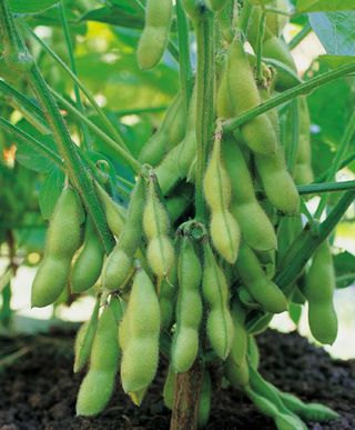 Soybeans Butterbean Early Variety Organic Heirloom Rare Always NON GMO Seeds  30