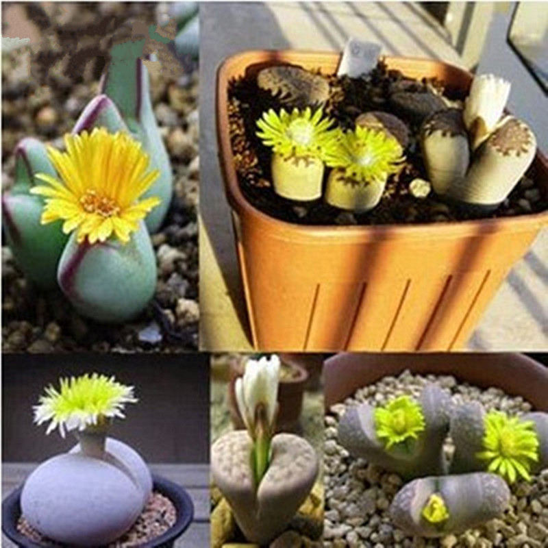 100pcs! Freshly picked Lithops seeds cactus potted flowers ...