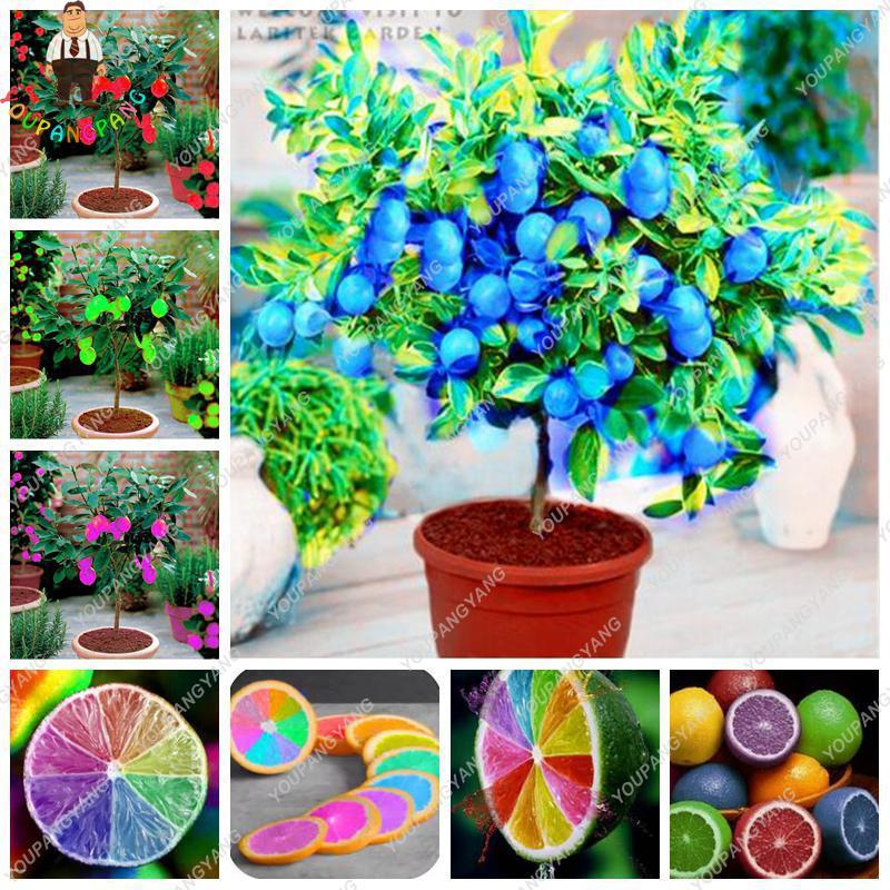 20 Pcs/bag Rare Rainbow Lemon bonsai Organic Fruit Lemon Tre