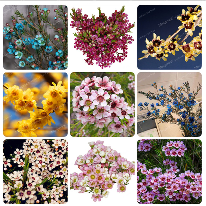 Promotion Geraldton wax Flower Seeds Rare bonsai Plants home garden Very Beautiful Garden Flower Seeds Perennial Flowers 50 Pcs