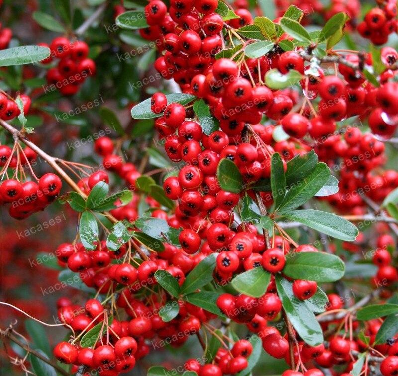 100 pc pyracanthus roaster pyracantha plante potted organisk frukt, teknologi bonsai tree hagen plante for hjemmet