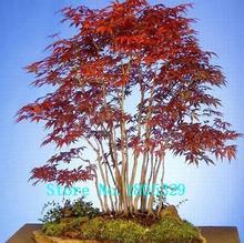 """50 STÜCKE Lila Ahorn Samen Selten in Der Welt Kanada ist eine Schöne Lila Ahorn Bonsai Pflanzen Baum samen """"lila Geist""""(China)"""