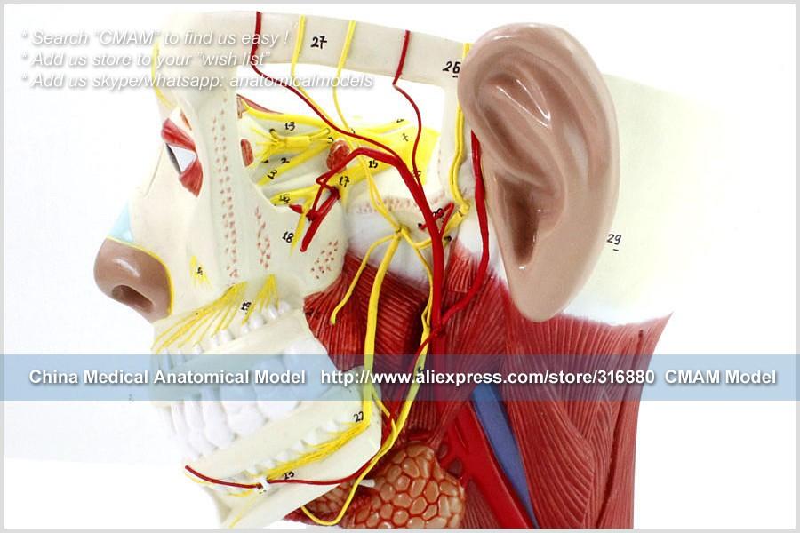 Cمام/12419 أعصاب الرأس ، نموذج تشريحي بشري للمخ الطبي|nerves head|nerv -  AliExpress