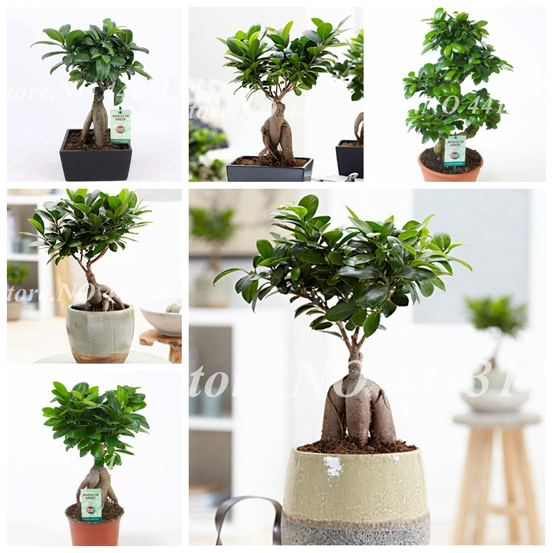 20 Pcs Chinese Rare Ficus Microcarpa Bonsai Tree Evergreen Bonsai Potted Ginseng Banyan Home Garden Outdoor Plants Easy To Grow