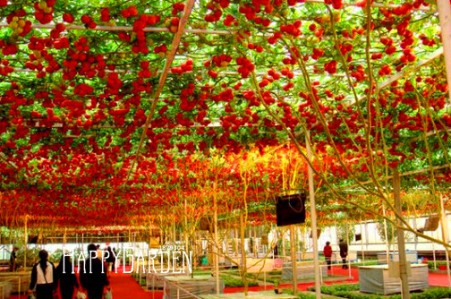 Sale!50 Seed/Lot ITALIAN TREE TOMATO Seeds 'Trip L Crop' Seeds *Comb S/H Free shipping,#1NMHR4