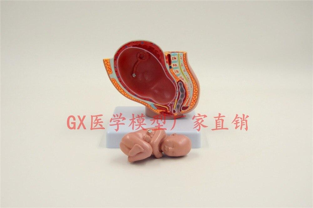 cavidade pélvica Feminina com fetal modelo modelo