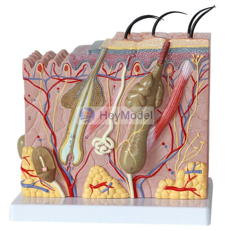 Купить с кэшбэком HeyModel 3D Skin Tissue Structure 50 Times Enlargement