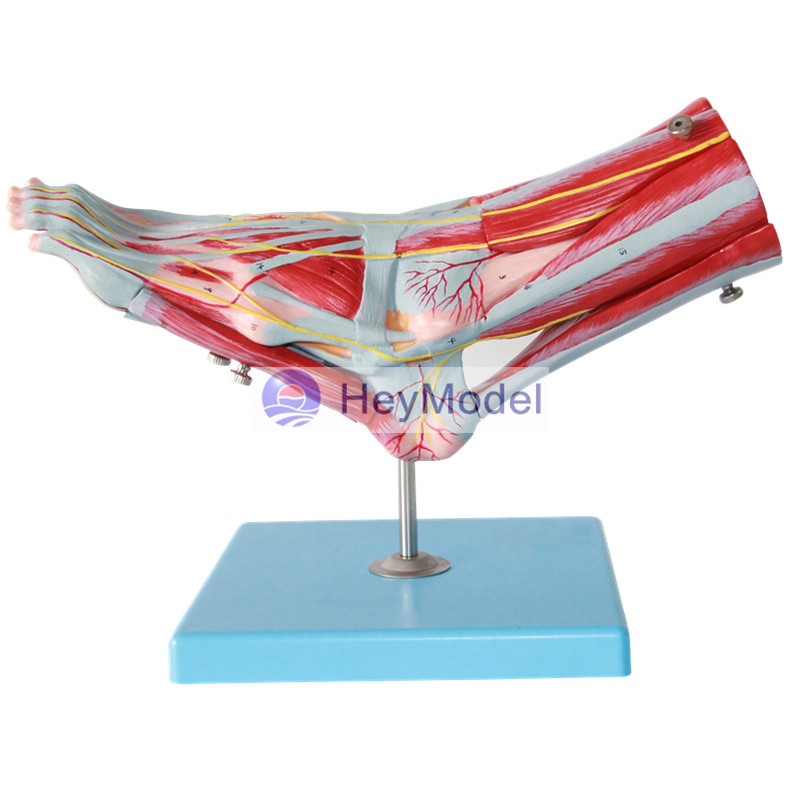 HeyModel Foot muscle attached to the main vascular nerve model some nerve